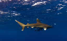 Longimanus shark on Big Brother Stock Image