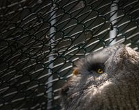 Longing. A caged owl looking out longing for freedom stock photography