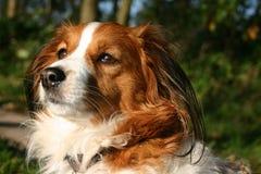 Longing del cane di Kooijker per qualcosa Immagini Stock Libere da Diritti