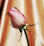 Longing for love, symbol. Beautiful pink rose on an elegant neutral background, suggesting longing for love royalty free stock photography