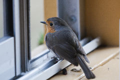 Longing. A red robin trapped indoors is longing for freedom royalty free stock photo