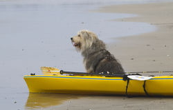 Longing Sheepdog. Sheepdog waiting to go out to sea Royalty Free Stock Image