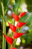 Longissima de Heliconia Photographie stock