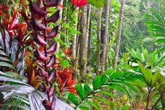 Longissima de Heliconia dans une forêt tropicale Photo stock