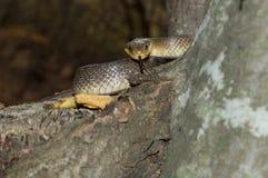 Longissima del Elaphe de la serpiente alrededor del árbol fotografía de archivo