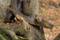 Longissima del Elaphe de la serpiente alrededor del árbol fotografía de archivo libre de regalías