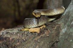 Longissima del Elaphe de la serpiente en árbol imagen de archivo libre de regalías