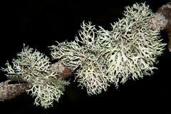 Longissima Usnea лишайников Стоковые Фото