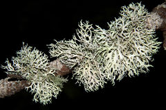 Longissima van korstmossenusnea Stock Foto's