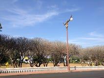 Longitud de hilera de árboles del Frangipani Fotografía de archivo