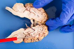 Longitudinal cross-section of a cow brain Royalty Free Stock Photography