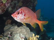 Longjawed squirrefish. In red sea stock photos