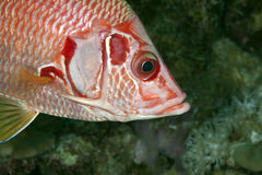 Longjawed squirrelfish Royalty Free Stock Photography