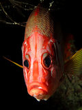 Longjawed squirrelfish Royalty Free Stock Images