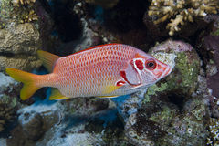 longjawed squirrelfish Royaltyfri Foto