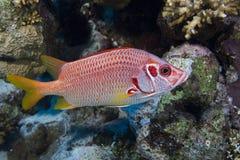 Longjawed squirrelfish royalty free stock photo