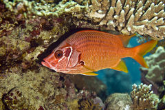 Longjawed squirrelfish (sargocentron spiniferum). Taken in Middle Garden Stock Photo