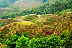 Longji tarasu ryż pole Zdjęcia Stock