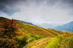 Longji terraced landscape in Autumn. Longji terraces after the autumn harvest at Longsheng, Guilin, Guangxi province, China royalty free stock image