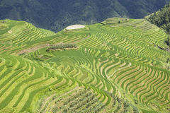 Longji Terraced Rice Fields Stock Image