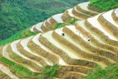 Longji terrassfält i Guilin Arkivfoton