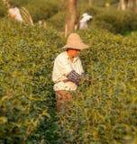 Longjing herbaciany zrywanie fotografia stock