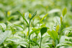 Longjing tea buds Royalty Free Stock Photography