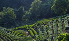 Longjing Tea Plantations Stock Photo
