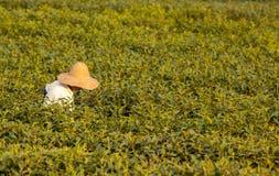 Longjing-Teesammeln Lizenzfreies Stockbild