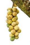 Longkong Baum Lizenzfreies Stockfoto