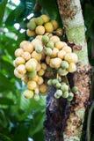 Longkong en árbol Foto de archivo libre de regalías