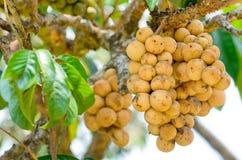 Longkong frais sur l'arbre Image stock