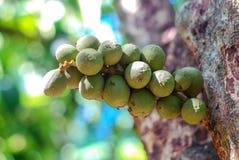 Longkong fruit on tree royalty free stock photo
