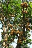 Longkong fruits on the tree Stock Image