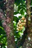 Longkong (langsat) auf Baum lizenzfreie stockfotos