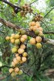 Longkong, Langsat, Lanzones, Lansium-parasiticumfruit op boom Het lokale fruit van Azië Royalty-vrije Stock Foto's