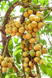 Longkong (langsat) on tree. Stock Photo