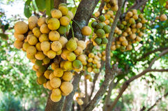 Longkong Lansium lub drzewa domesticum Zdjęcia Stock