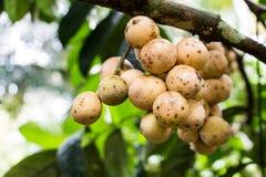 Longkong sull'albero Immagini Stock Libere da Diritti