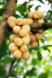 Longkong tropical fruit on the tree. Thai Fruit. The Longkong tropical fruit on the tree in eastern of Thailand Stock Photography