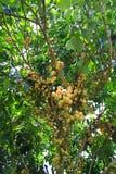 Longkongvruchten op de boom in boomgaard Stock Foto