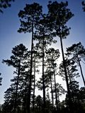 Longleaf-Kiefernwaldung Stockfotografie