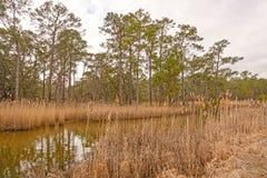 Longleaf Pine along a Coastal Bayou Royalty Free Stock Image