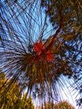 Longleaf sörjer blad som är nära upp skott royaltyfri bild