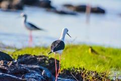Longleg fåglar Royaltyfria Foton