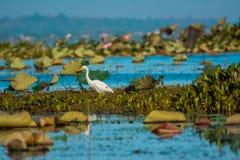 Longleg-Vögel Lizenzfreies Stockbild