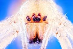Longlegged αρσενική αράχνη σάκων Στοκ φωτογραφίες με δικαίωμα ελεύθερης χρήσης