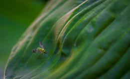 Longlegged муха на лист Стоковые Изображения