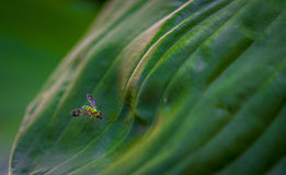 Longlegged fluga på ett blad Arkivbilder
