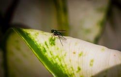 Longlegged komarnica na zielonym liściu zdjęcia royalty free